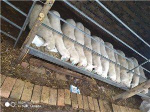 懷孕母羊出售