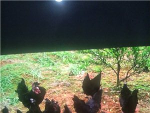 黑羽乌骨鸡