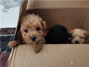 低价出售自家纯种泰迪幼犬