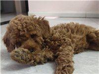 泰迪公2个月  可以从小培养  上班没时间养 出售400     剩下的狗粮和尿垫都赠送   有意者...