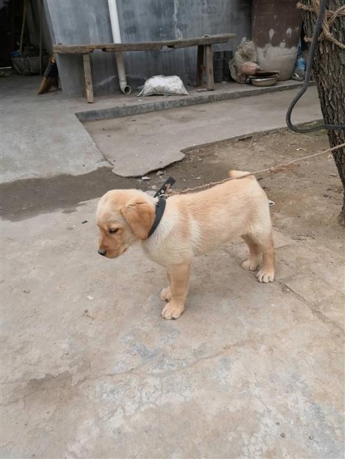 4個月的拉布拉多幼犬,能吃能玩,由于家中無人看管!決定出售電話,13609283274任