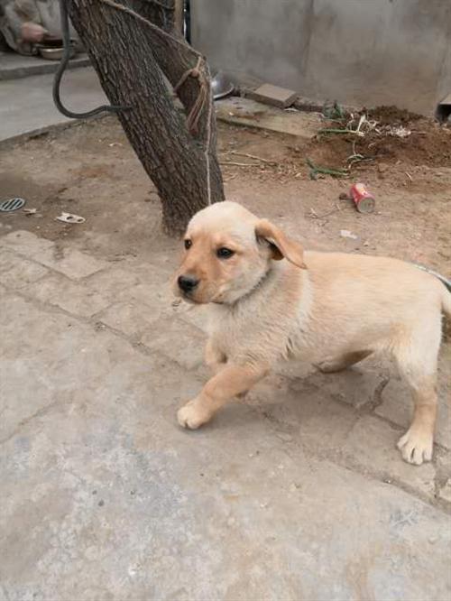 4個多月的拉布拉多幼犬,幼犬身體健康能吃能玩因家中無人看管,所以出售。。電話。13609283274