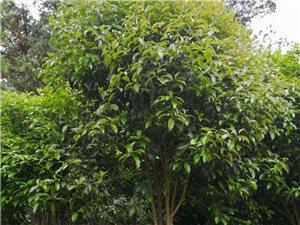 八年树龄桂花树便宜出售