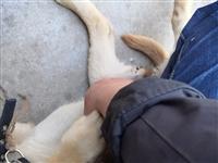 因家中無人看管,出售4月大的拉布拉多幼犬!!身體健康能吃能玩!!電話。13609283274