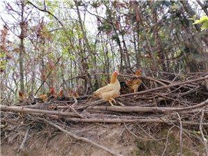 山林散养土鸡、土鸡蛋