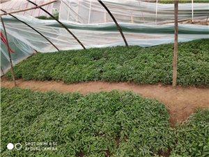 供应**蔬菜苗、红薯苗