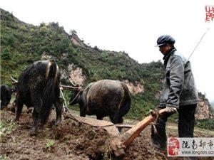 【礼县头条】古老的文明――礼县木轮牛车