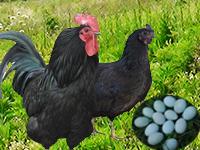 五黑一绿鸡绿壳鸡蛋跑山鸡土鸡土鸡蛋形象图