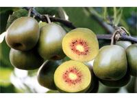 红心猕猴桃-大英红心猕猴桃种植基地