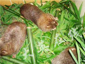 果子狸竹鼠-大英鑫程特种养殖基地