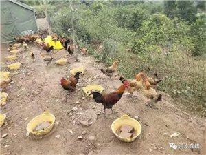 """""""筷客外卖""""预售八月十五正宗散养鸡"""